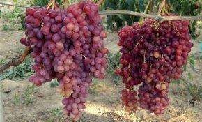 Особенности винограда сорта Велес