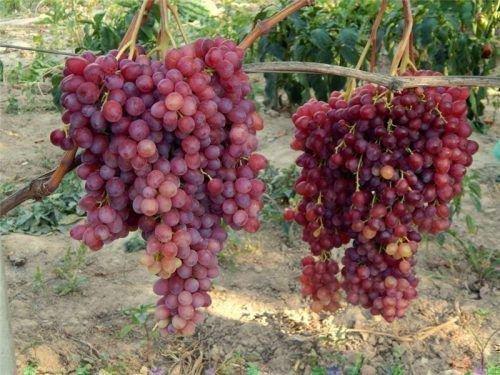 Грозди винограда Велес