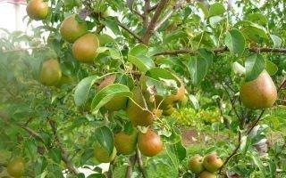 Особенности груши Чижовской, выращивание и уход