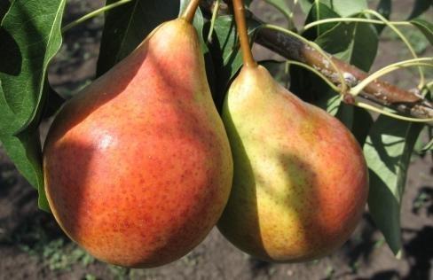 Плоды Дюшес