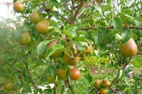 Плоды сорта Лада