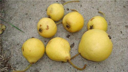 Плоды Ларинской