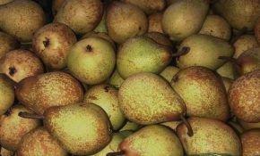Поздние известные сорта груш