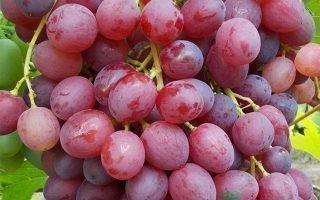 Виноград Ред Глоб