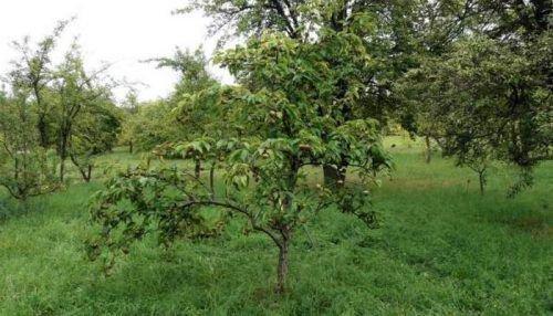 Низкорослое дерево груши