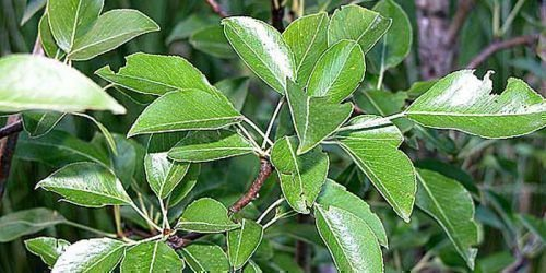 Листья у сорта крупные. кожистые