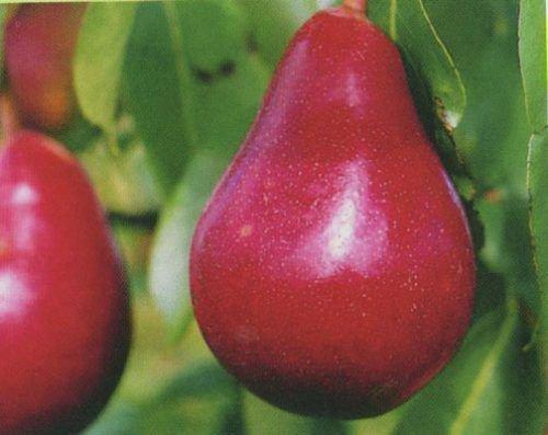 Плоды сорта Нарядная Ефимова