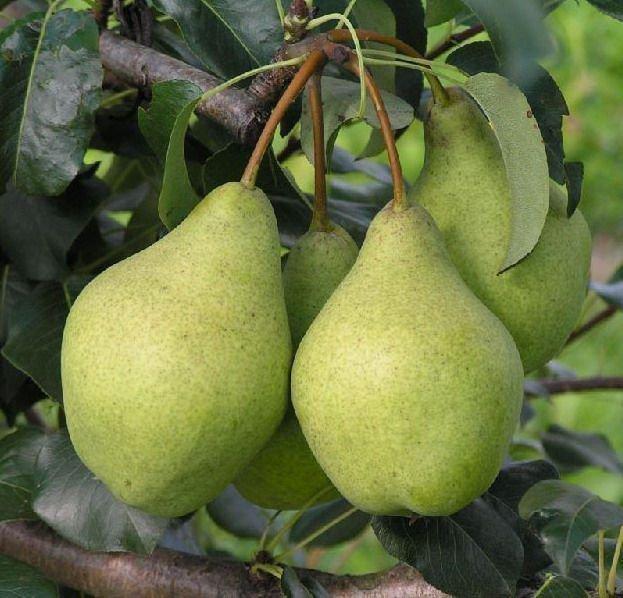 Плоды груши Орловская летняя