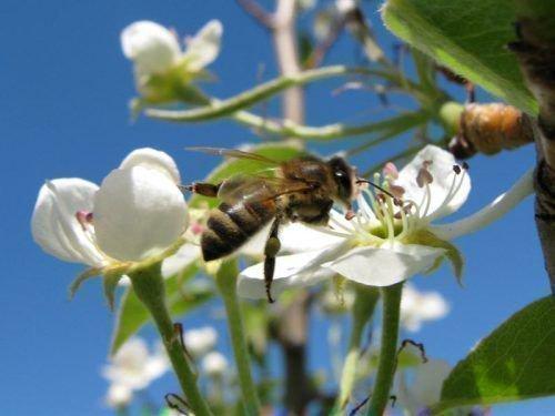 Для опыления нужны пчелы