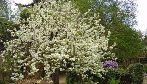 Дерево Орловской летней