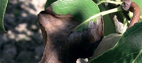 Высыхание листьев