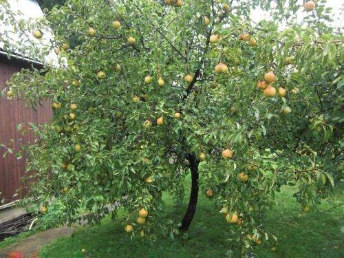 Дерево сорта Памяти Яковлева