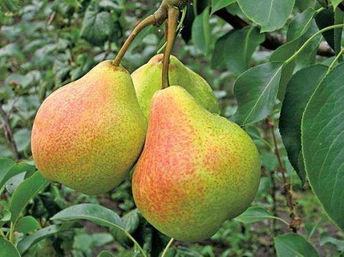 Созревшие плоды