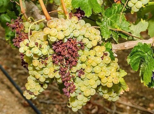 Перевес гроздей