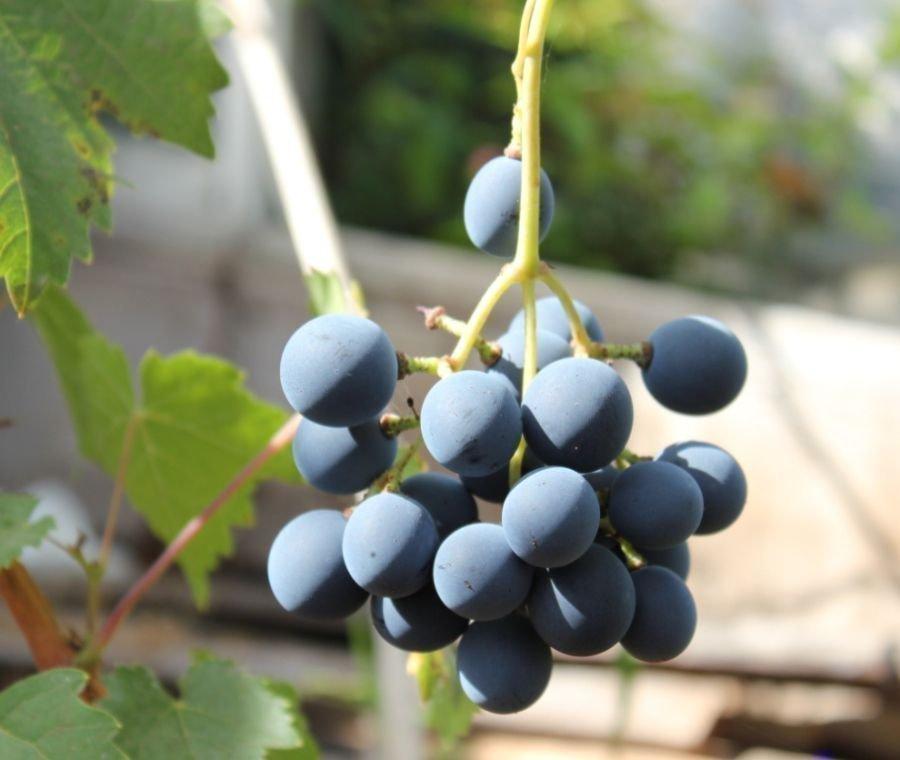 Первая гроздь Галанта