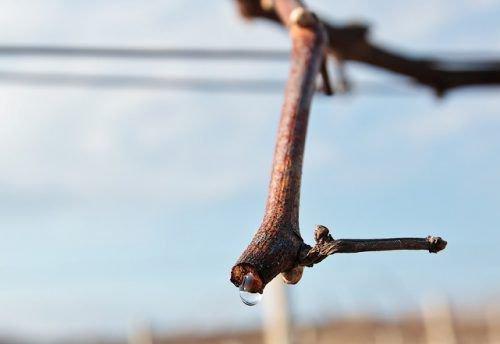 Плач винограда