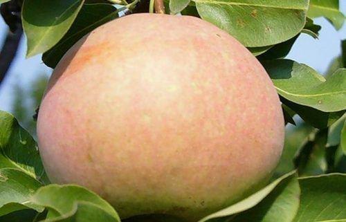 Плод Россошанской