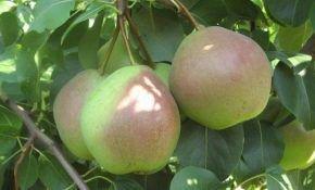 Десертная груша Россошанская, посадка, уход, характеристика
