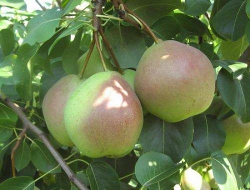 Плоды Россошанской
