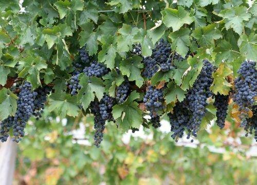 Подвяленные грозди