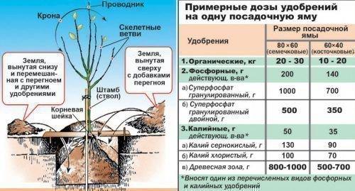 Посадка и удобрение груши
