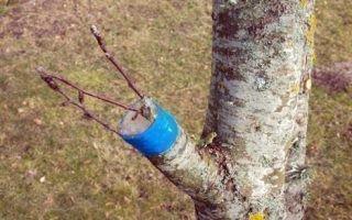 Как правильно привить грушу на подвой яблони и другие деревья