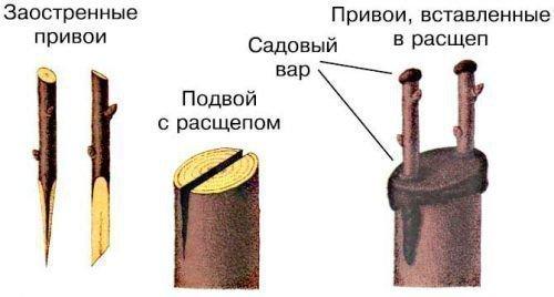 Прививка вращеп