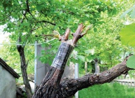 Прививка винограда Велес