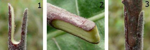 Прививка груша вприклад