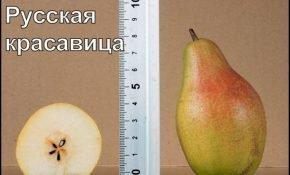 Характеристики груши Русская Красавица