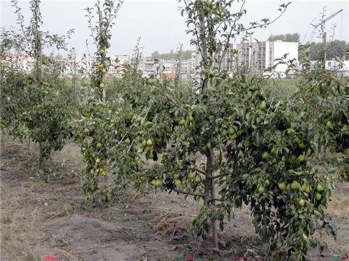 Сад карликовых груш