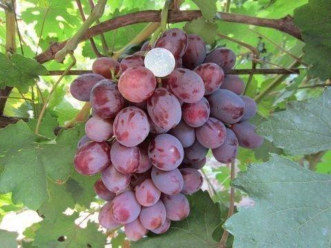 Виноград раннего сорта Монте Кристо