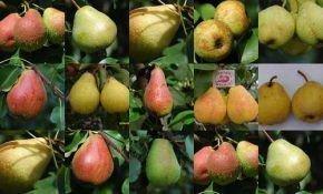 Какие бывают сорта, виды груш