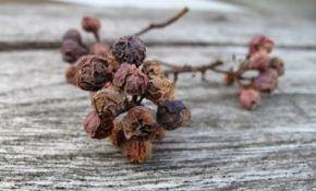 Виноградные сохнут гроздья: причины и способы борьбы