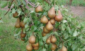 Чем грушу лучше подкормить осенью?