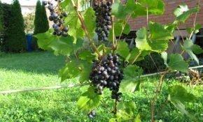 Виноградные сорта для регионов Средней полосы – обзор с описанием и фото
