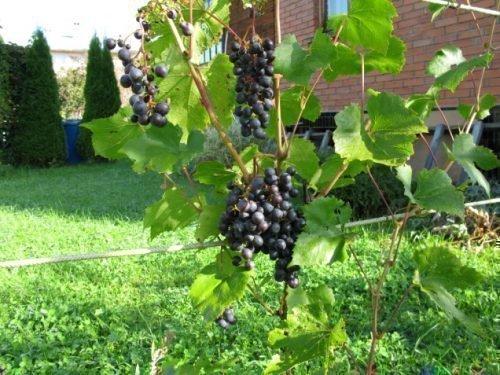Виноград для средней полосы