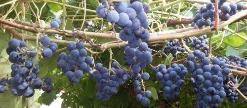 Зилга - очень неприхотливый виноград