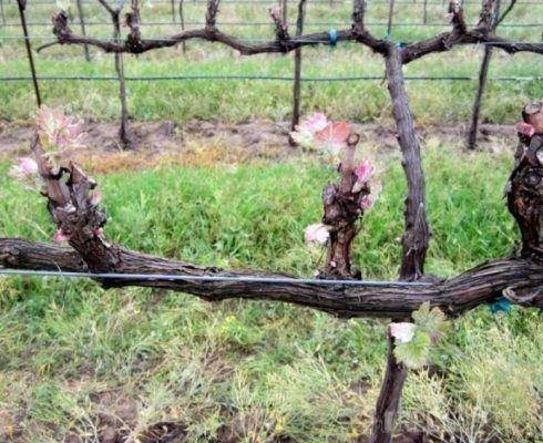 Коротка обрезка винограда