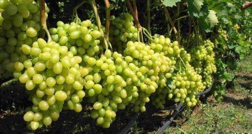 Отличный урожай виноград