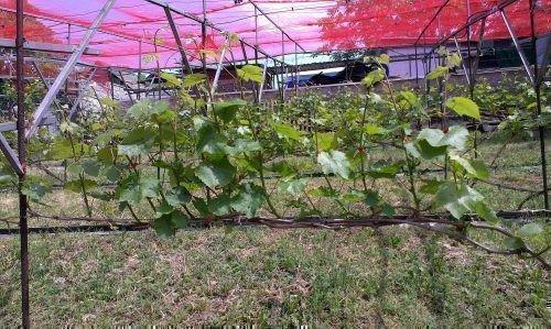 Двухплечевая формировка виноградного куста