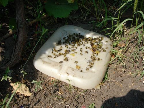 Простая ловушка для ос с медом