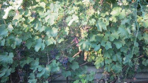 Сетка от птиц на винограде