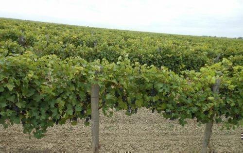 Штамбовая двухплечевая формировка винограда