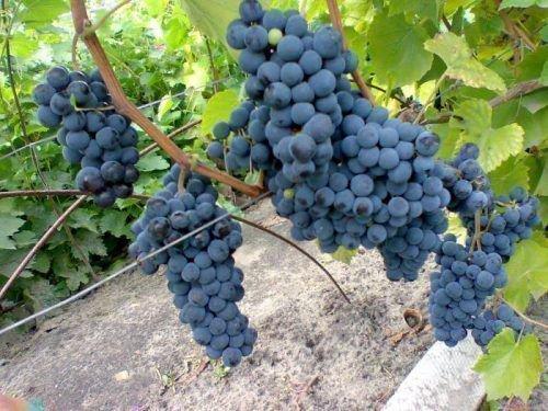 Созревшие грозди сорта Левокумский
