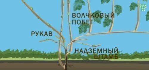 Строение куста винограда - схема