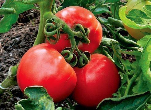 Ранние сорта томатов