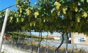 Характеристики стрелки плодовой на винограде