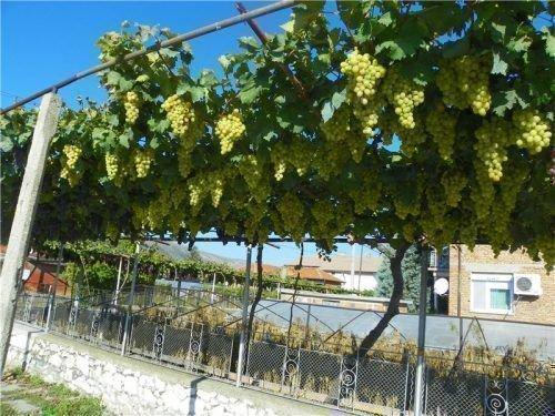 Урожай винограда на шпалере