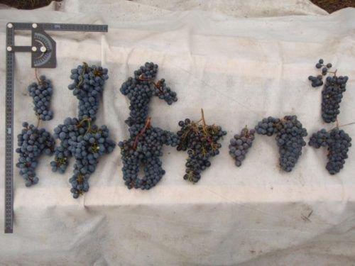 Левокумский - грозди разной формы